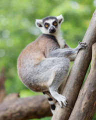 ring-tailed lemur (lemur catta) with nature background