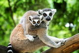 ring-tailed lemur - Fine Art prints