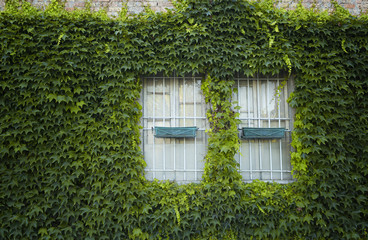 windows surrounded by creeper