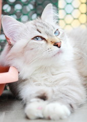 white cat of siberian breed, female type neva masquerade