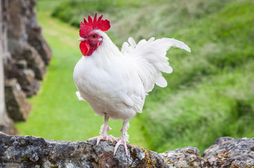 Beautiful white rooster standing proudly