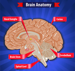 brain function, human brain anatomy