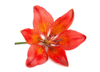 Red lilly flower