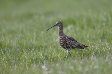 Curlew, Numenius arquata,