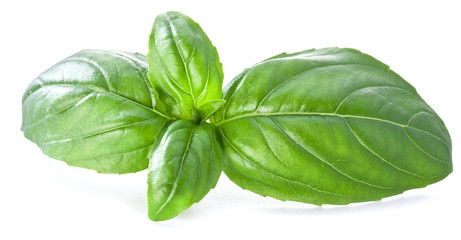 Green basil leaves isolated on a white.