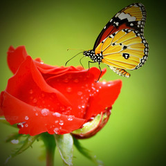 monarch butterfly on roses