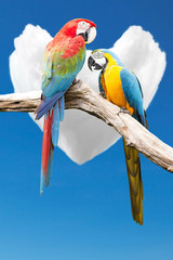 Couple of parrots macaws on background cloud cores in the heart.