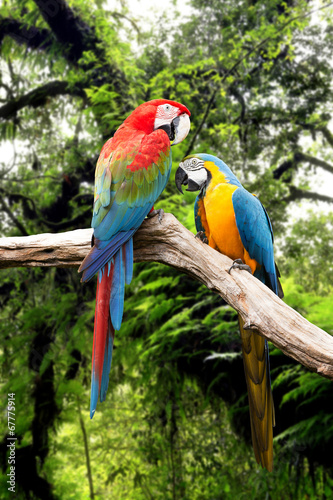 Couple parrots macaw in the rainforest