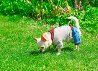small chihuahua in clothes