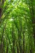 beech tall green trees in summer forest