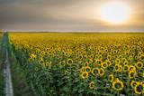 Fototapeta sunflowers field