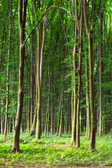 beech tall green trees in summer forest