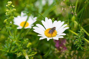 Horsefly on a daisy flower