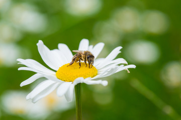 Bee sucking nectar from daisy flower