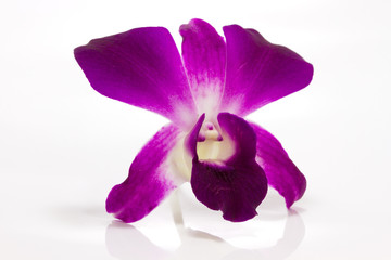 orchid isolate on white background