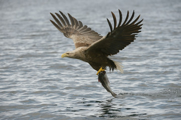 Hunting Eagle with Catch.
