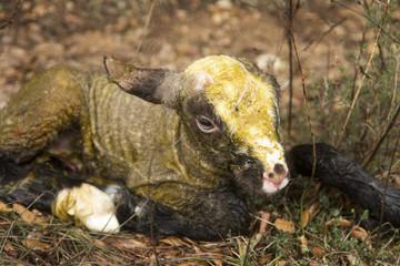 Pasgeboren lam probeert op te staan