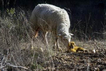 Schaap en lam