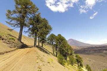 Araucarias in Malalcahuello Park, Chile