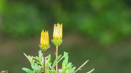 Yellow Flowers Blooming Time Lapse
