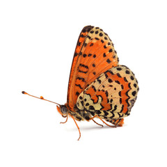 Butterfly - Spotted Fritillary (Melitaea didyma) on white