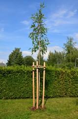 Junge Birke - Jungbaum angebunden