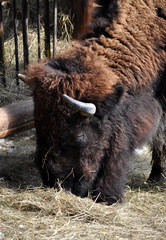 Detailed view of bison