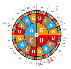 codon wheel for genetics