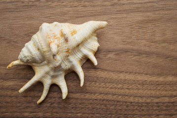 Conch on a wooden top