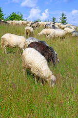 Sheep in a summer landscape