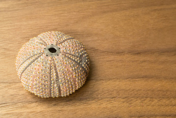 Shell of a sea urchin