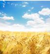 Beautiful wheat field. - 67789124