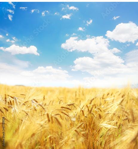 Beautiful wheat field.