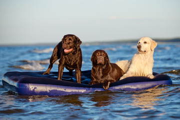 three dogs on a floating mattress