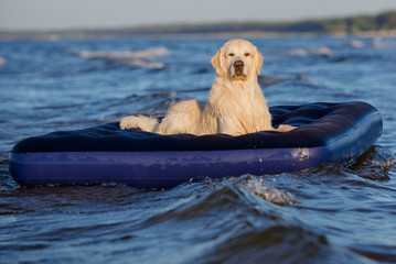 golden retriever dog on a floating mattress