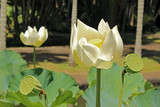 Lotusblüte auf Mauritius