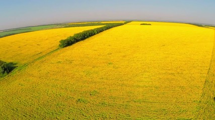 aerial video, field a sunflower with a natural sound