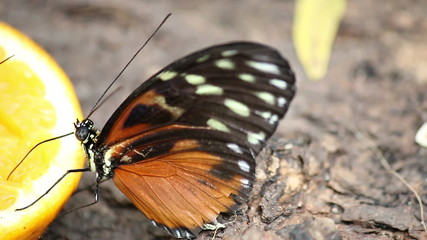 butterfly feeding with orange juice close up