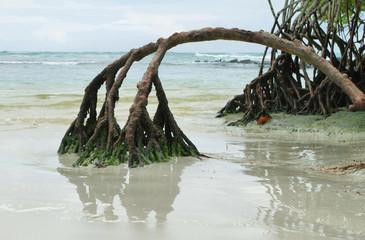 Mangrove on Tortuga Bay beach