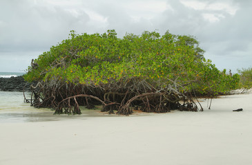 Mangrove on Tortuga Bay beach