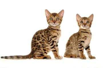 benal katzen kitten; paar, baby