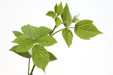 Himbeerblaetter, Rubus, idaeus,