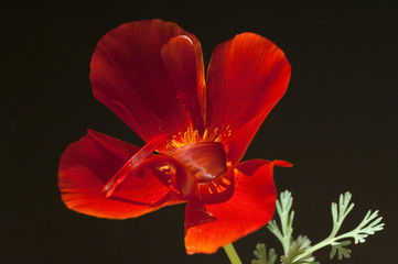 Kalifornischer; Mohn; Eschscholzia; californica;