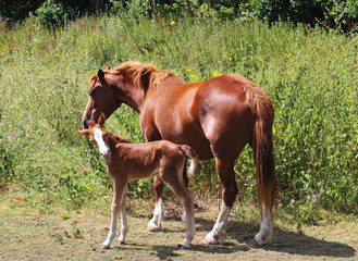 A Foal in an english meadow