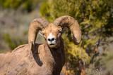 Big Horn Ram watches photographer