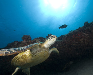 Turtle swimming on the reef