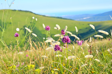 Allium flowers on mountain meadow