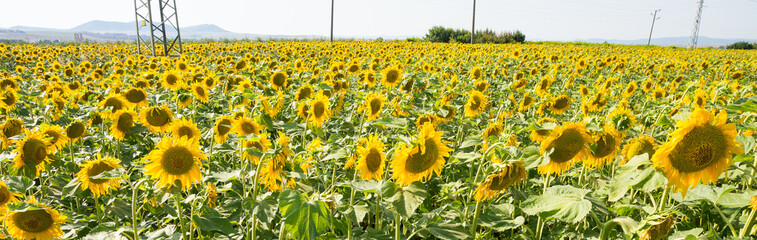Bulgarian sunflowers