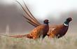 Leinwanddruck Bild - Pheasant