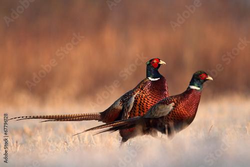 Pheasant - 67796128